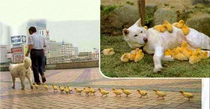سبحان الله علاقة غريبة بين كلب و البطوطات Duck_dog