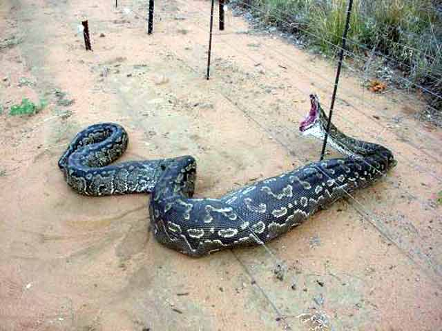 worlds biggest snake